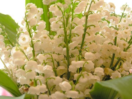 Lilyofthevalleyjustpicked