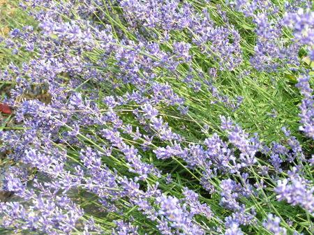 Hidcote_lavender